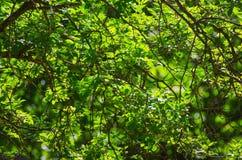 Pogodni zieleń liście Fotografia Stock