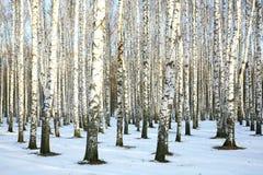 Pogodny śnieżny brzoza gaj Fotografia Stock