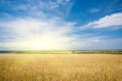 Pogodny żółty pszeniczny pole i niebo obraz royalty free