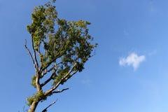 Pogodny drzewo wierzchołek obrazy stock