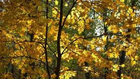 Pogodny klon w jesień parku zbiory wideo