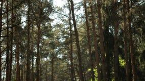 Pogodny letni dzień w lasowej, lasowej ścieżce, magiczny las, sosny, wolny pionowo ruch w górę słońce promienie robią ich sposobo zbiory