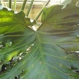 Pogodny liścia filodendron Obraz Stock