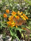 Pogodny Motyli Wildflower Obraz Royalty Free