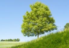 Pogodny pojedynczy drzewo Zdjęcia Royalty Free