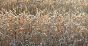 Pogodny pszenicznego pola szczegół Obrazy Royalty Free