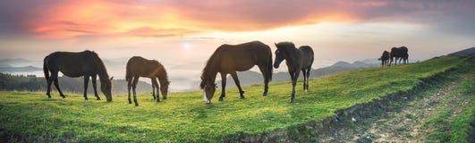 Pogodny ranek i bezpłatni konie pasamy na wierzchołku wśród dzikich Karpackich panoram Ukraina dla zimy, i wszystkie jesień i lat zdjęcia stock