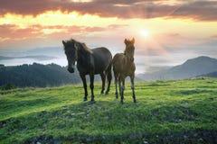 Pogodny ranek i bezpłatni konie pasamy na wierzchołku wśród dzikich Karpackich panoram Ukraina dla zimy, i wszystkie jesień i lat fotografia stock