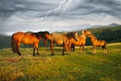Pogodny ranek i bezpłatni konie pasamy na wierzchołku wśród dzikich Karpackich panoram Ukraina dla zimy, i wszystkie jesień i lat fotografia royalty free