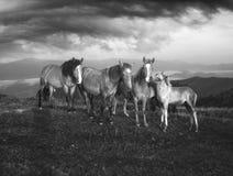Pogodny ranek i bezpłatni konie pasamy na wierzchołku wśród dzikich Karpackich panoram Ukraina dla zimy, i wszystkie jesień i lat obrazy royalty free