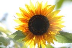 Pogodny słonecznik Zdjęcie Royalty Free