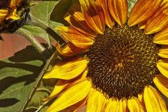 Pogodny słonecznik na letnim dniu Fotografia Royalty Free