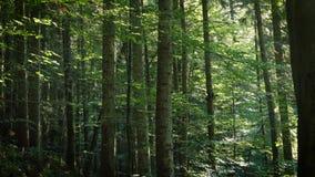 Pogodny sosnowy las z promieniami słońce zbiory wideo