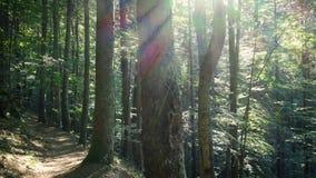 Pogodny sosnowy las z promieniami s?o?ce zbiory wideo