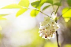 Pogodny tła Staphylea pinnata kwitnienie obrazy stock