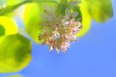 Pogodny tła Staphylea pinnata kwitnienie zdjęcie stock