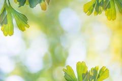 Pogodny tło z Ginkgo liści drzewo obrazy stock