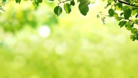 Pogodny tło z Naturalną gałąź z zielenią opuszcza na ulistnieniu z światłami słonecznymi zdjęcie wideo