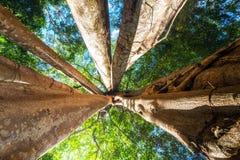 Pogodny tropikalny las deszczowy z gigantycznego banyan tropikalnym drzewem Kambodża Zdjęcie Stock