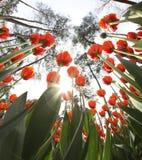 Pogodny tulipan Zdjęcie Stock