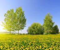 Pogodny wiosna krajobraz z kwitnącymi dandelions zdjęcie royalty free