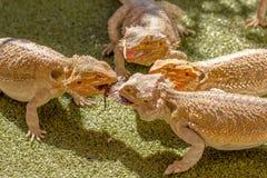 Pogona争夺食物的Vitticeps 免版税图库摄影