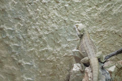 Pogona Bearded Dragon Lizard Stock Photography