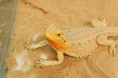 Pogona or Bearded dragon Stock Photos