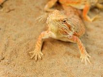 Pogona or Bearded dragon Stock Photo