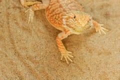 Pogona or Bearded dragon Stock Image