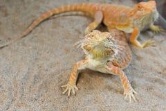 Pogona or Bearded dragon Royalty Free Stock Images