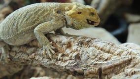 Pogona, das Käfer isst stock footage
