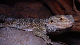 Pogona för Agamid ödla vitticeps, den skäggiga draken arkivfilmer