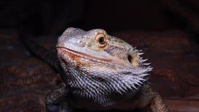 Pogona för Agamid ödla vitticeps, den skäggiga draken stock video