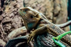 Reptile : Bearded Dragon stock images