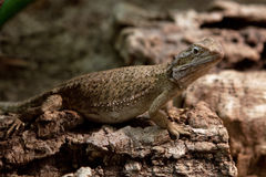 Pogona henrylawsoni Stock Photography
