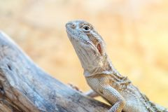 Pogona henrylawsoni-Bearded Dragon Stock Photos