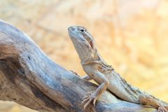 Pogona henrylawsoni-Bearded Dragon. On a wood branch stock photo