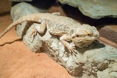 Bearded Dragon on a wood branch. Native to Australia. Pogona henrylawsoni-Bearded Dragon on a wood branch stock image