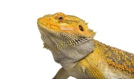 Pogona lizard , 11 months old. Against whit background against white background Royalty Free Stock Image
