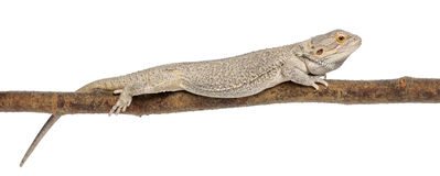 Pogona lying on a branch in front of white Stock Images