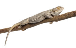 Pogona lying on a branch in front of white Stock Photos