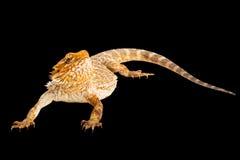 Pogona o有胡子的龙蜥蜴澳大利亚人 免版税库存照片