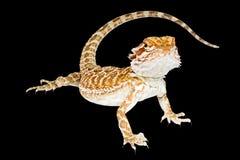 Pogona o Bearded Dragon Lizard Australian Stock Photo