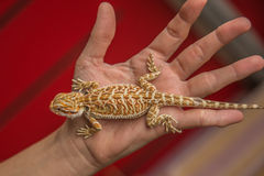 Beby Pogona on hand. The Pogona Vitticept also called Dragon bearded for the presence of scales under the neck that swell when she is angry, is a reptile that is Royalty Free Stock Photos