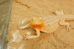 Pogona ou dragon barbu Image stock