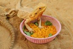 Pogona ou dragon barbu Photo libre de droits