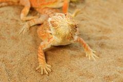 Pogona ou dragon barbu Images stock