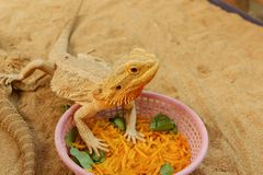 Pogona ou dragon barbu Images libres de droits