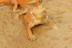 Pogona ou dragon barbu Image libre de droits